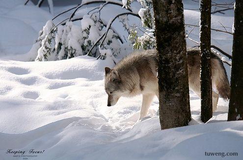 狼的生存哲理 - 网易第一博 - 网易第一博