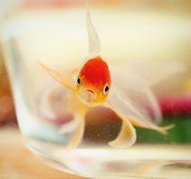 金鱼的记忆