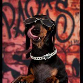 可爱的腊肠犬