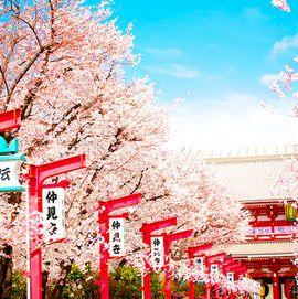 唯美的日本樱花